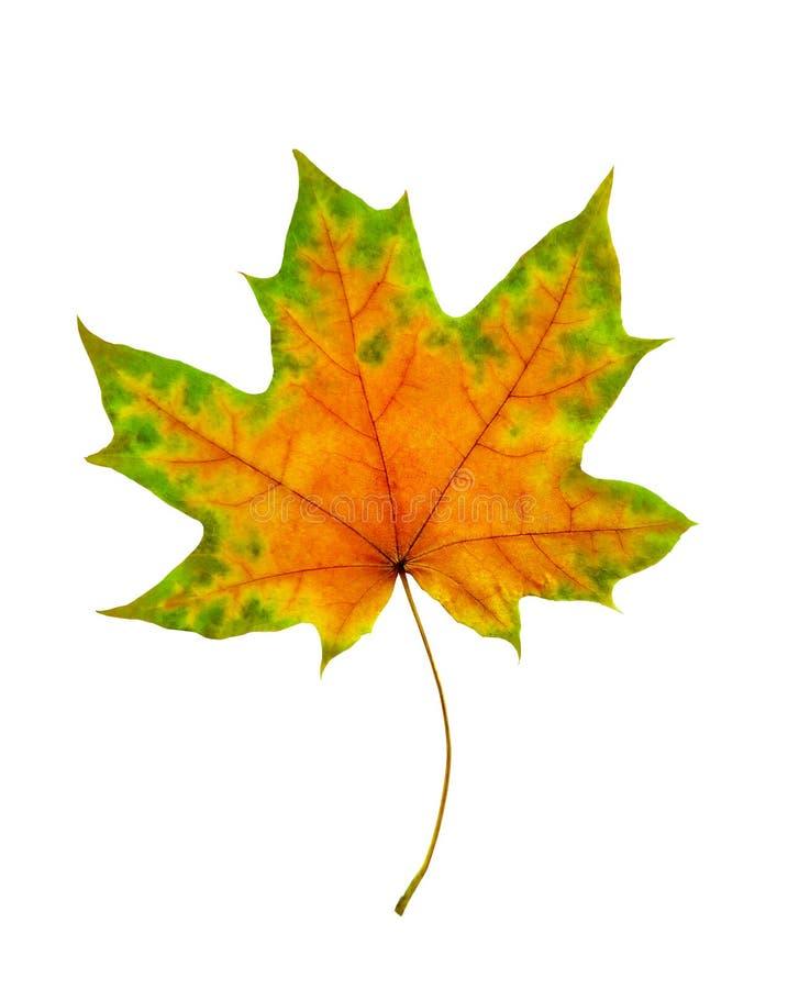 Beautiful single autumnal maple leaf, isolated on white background. Beautiful single autumnal maple leaf, green, yellow color, isolated on white background royalty free stock photography