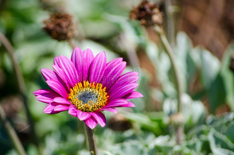 Beautiful single dark purple daisy in a spring season at a botanical garden. royalty free stock images