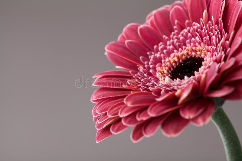 Beautiful single gerbera daisy flower closeup. Greeting card for birthday, mother or womans day. Macro. royalty free stock photo