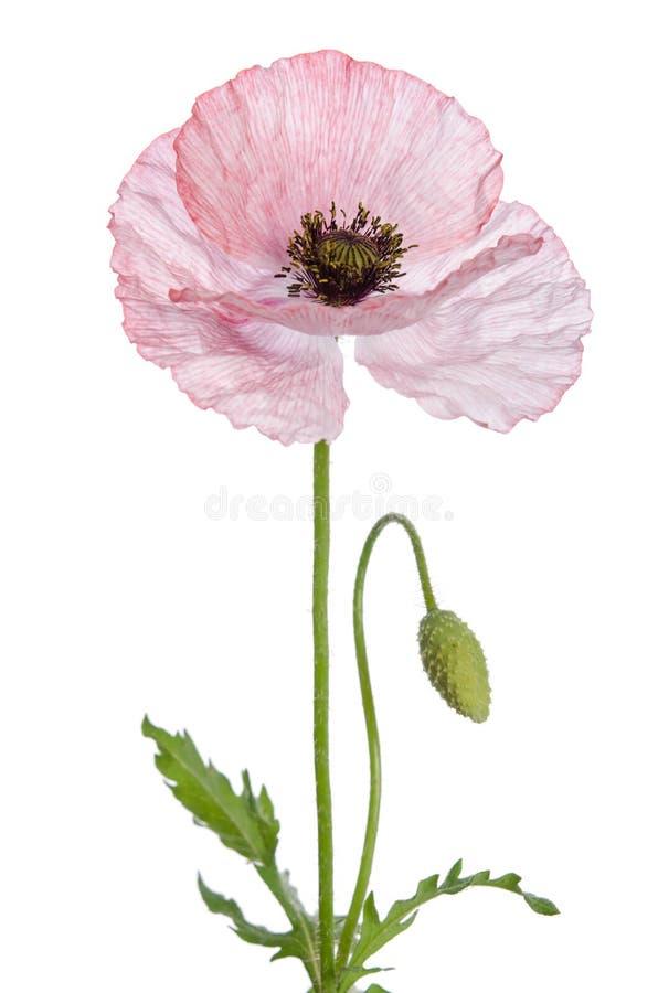 Free Beautiful Single Pink Poppy Stock Photos - 101020103