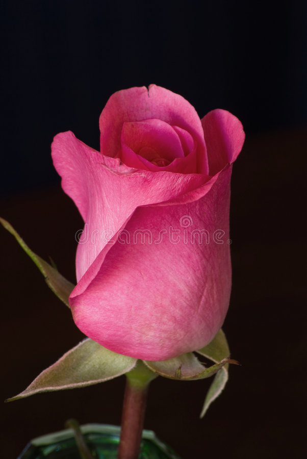 A beautiful single pink rose royalty free stock image