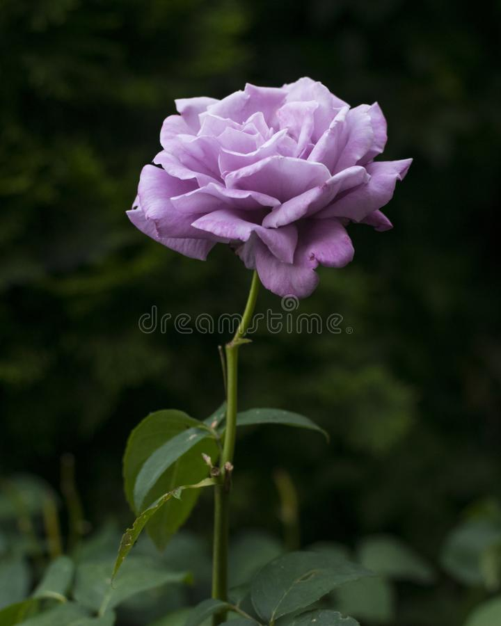 Beautiful single purple rose on dark green natural background.  stock images