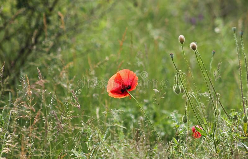Beautiful poppies in nature royalty free stock image