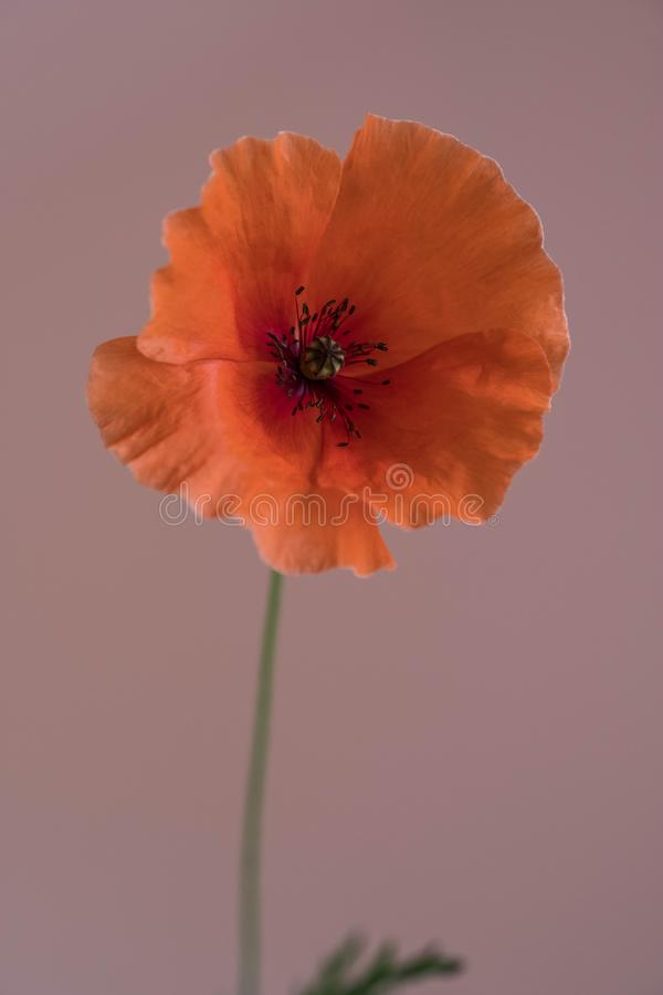 Beautiful single red poppy on pink background royalty free stock photos