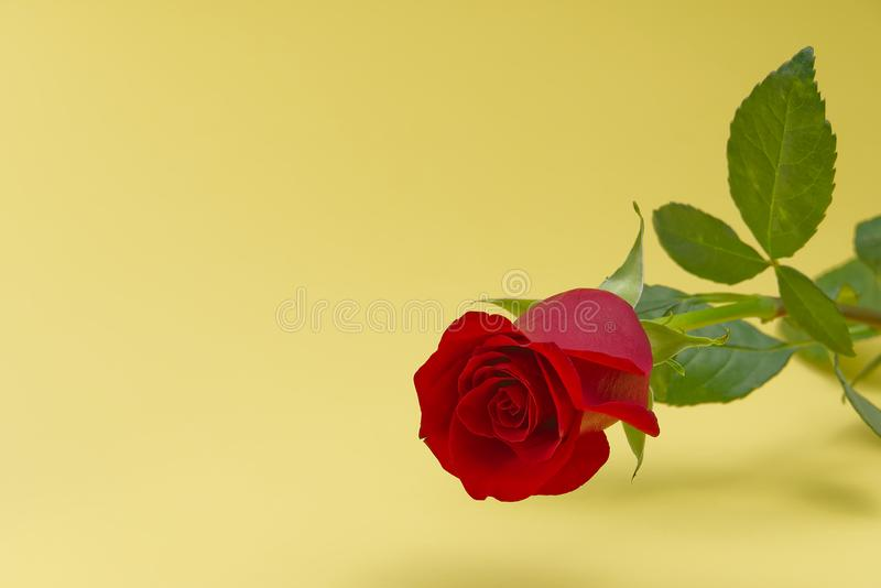 Beautiful single red rose on light yellow background. The concept of st valentine`s day, Mothers Day, March 8. Beautiful single red rose on light yellow royalty free stock photography