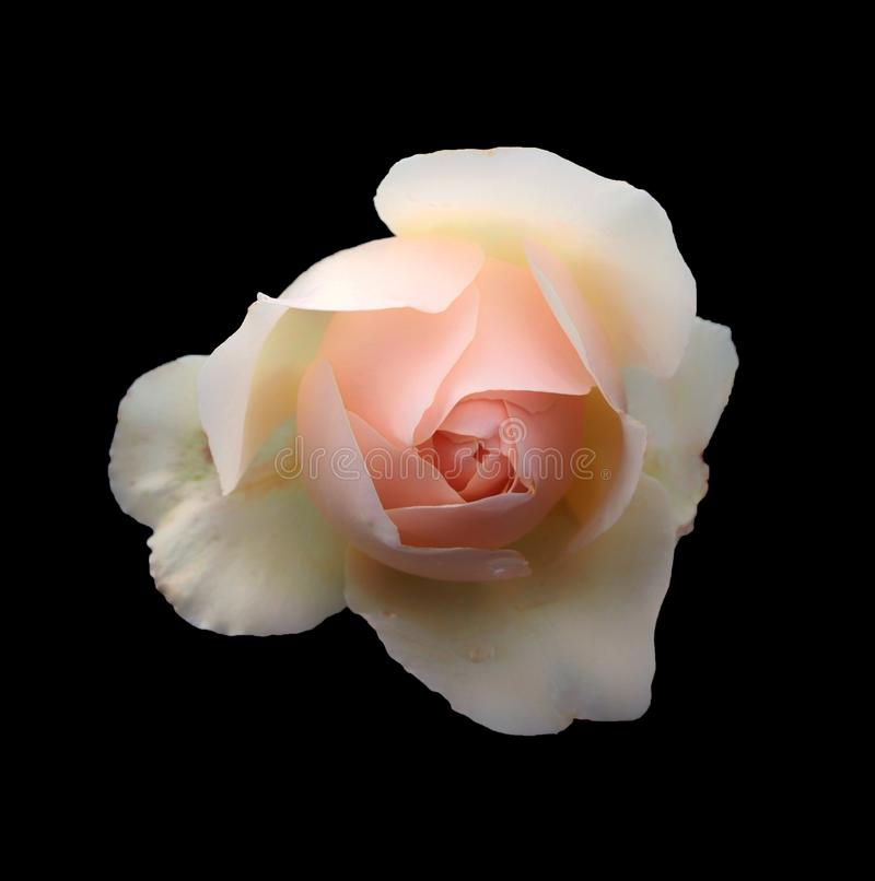 A beautiful single romantic pale pink rose with white glowing outer petals isolated on a black background stock photo