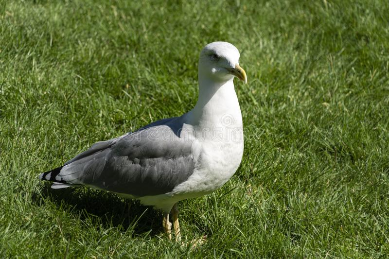 Beautiful single seagull Larus Canus stands on green grass background stock photos