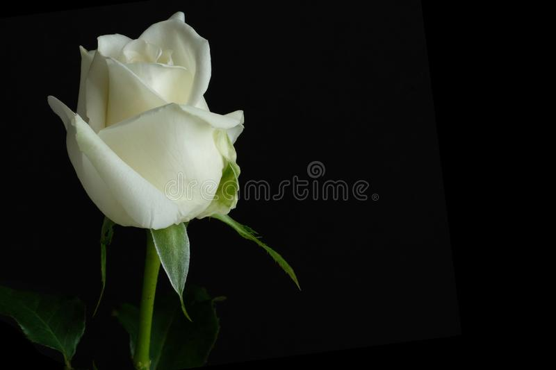 Beautiful single white rose. Dark background stock image