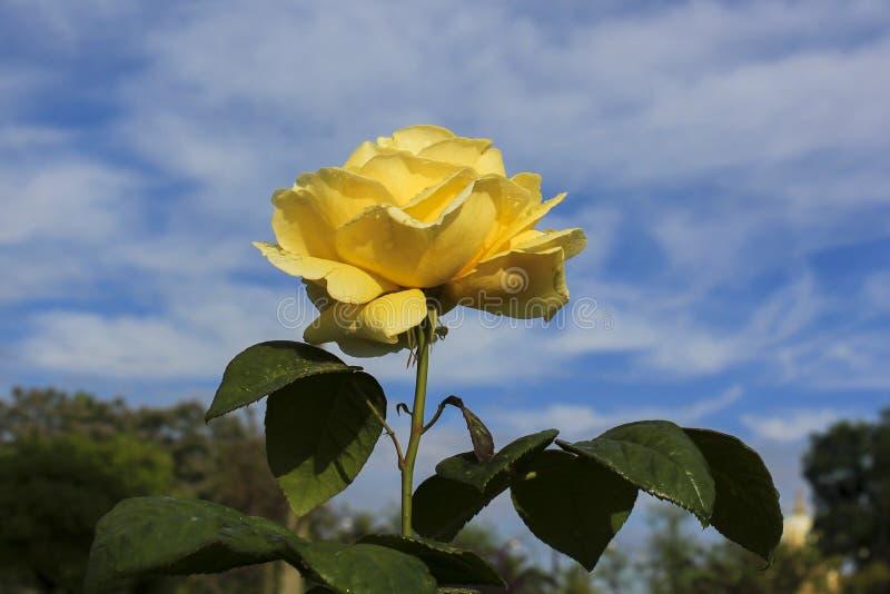 Beautiful single yellow rose stock image