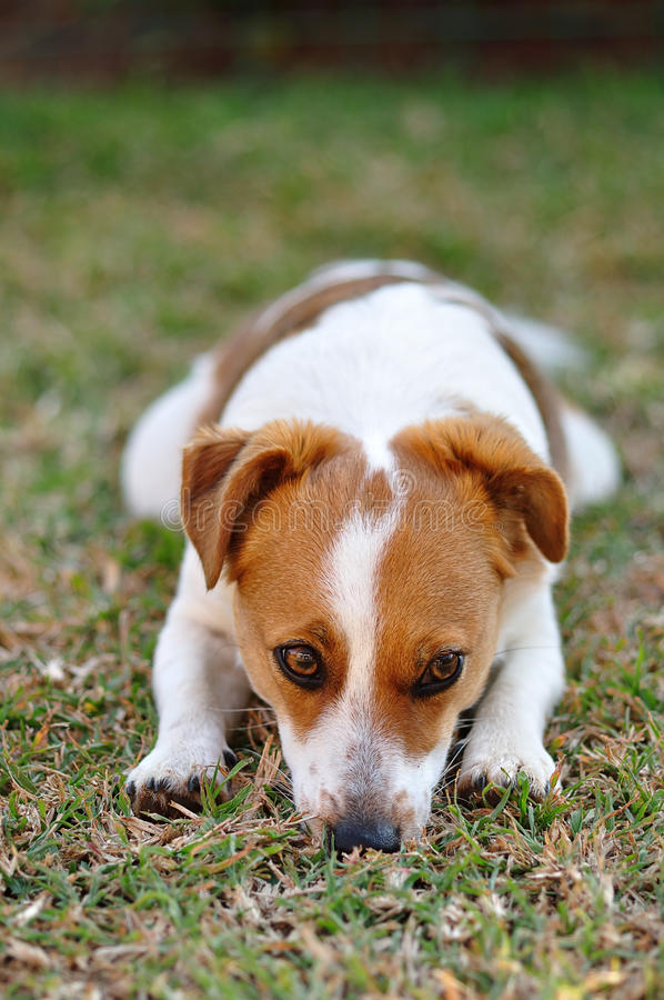 Beautiful sleepy attentive Jack Russel pup stock images