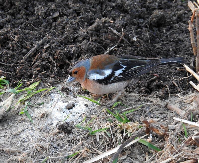 Beautiful small bird on ground, Lithuania stock photo