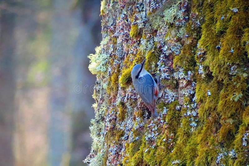 Small bird on tree trunk, Lithuania. Beautiful small bird on old bid tree trunk, can use as background stock images