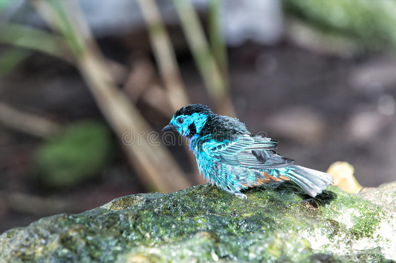 Beautiful small blue bird with water drop in feather. Beautiful small blue bird with water drops on feather perching on branch sitting on stone on natural stock images