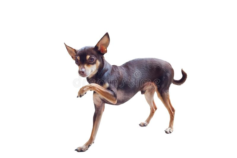 Decorative Russian Toy Terrier royalty free stock photos
