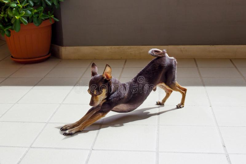 Decorative Russian Toy Terrier royalty free stock photo