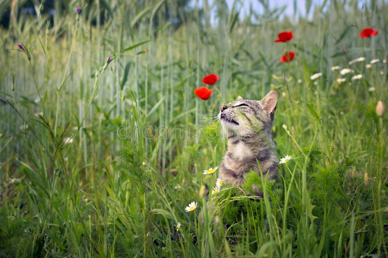 Cat smelling poppies flowers in a wheat field stock photography