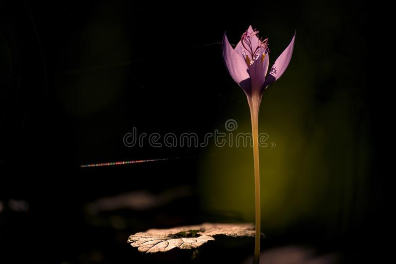 Beautiful small crocus flower with a spider web near the tulip shot in detail against a dark background royalty free stock photography