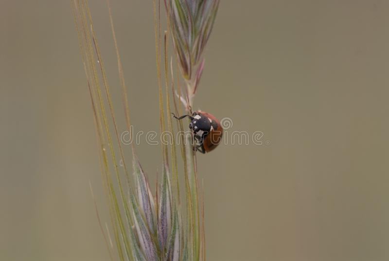 Small delicate ladybug in closeup sitting on a rye ears on a neutral background. Beautiful small delicate ladybug in closeup sitting on a rye ears on a neutral royalty free stock photo