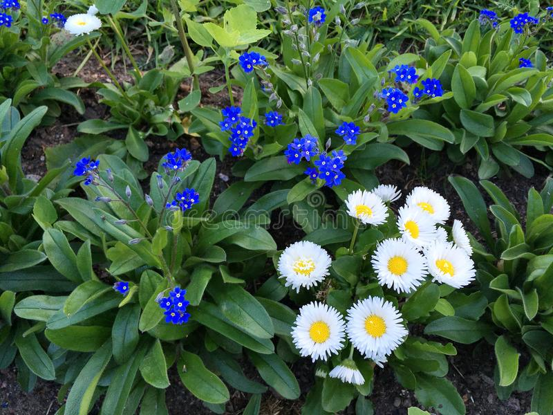 Beautiful small flowers, juicy blue, Alpine forget-me - not royalty free stock images