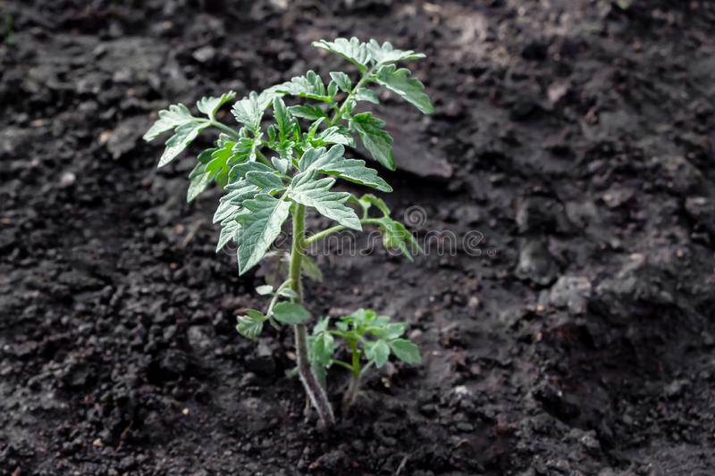 A beautiful small green seedling of tomato is in the brown soil stock photos