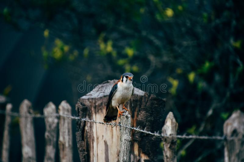 A beautiful hawk posses for the camera near Trinidad, Cuba. royalty free stock images