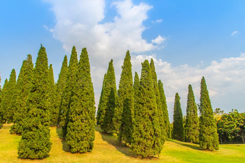 Beautiful small hill landscape with tall pine trees on green grass field and blue sky white cloud background. Juniperus chinensis royalty free stock image