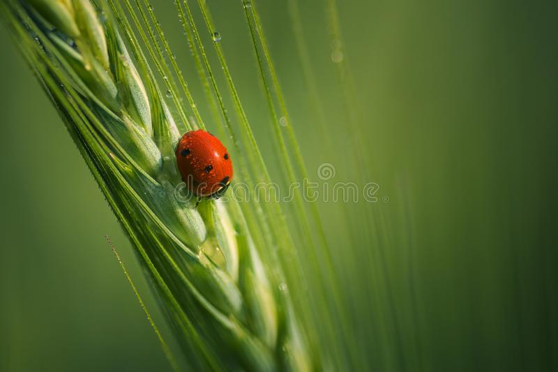 Beautiful small ladybug with dewdrops on wings. Shot close up on a wheat tip royalty free stock photography