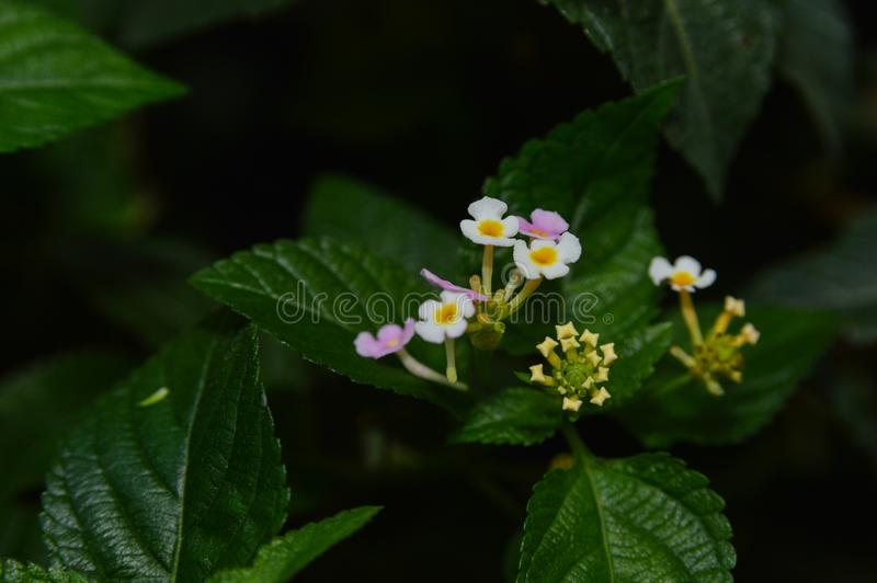 Beautiful small Lantana flower with green leaves as background stock images