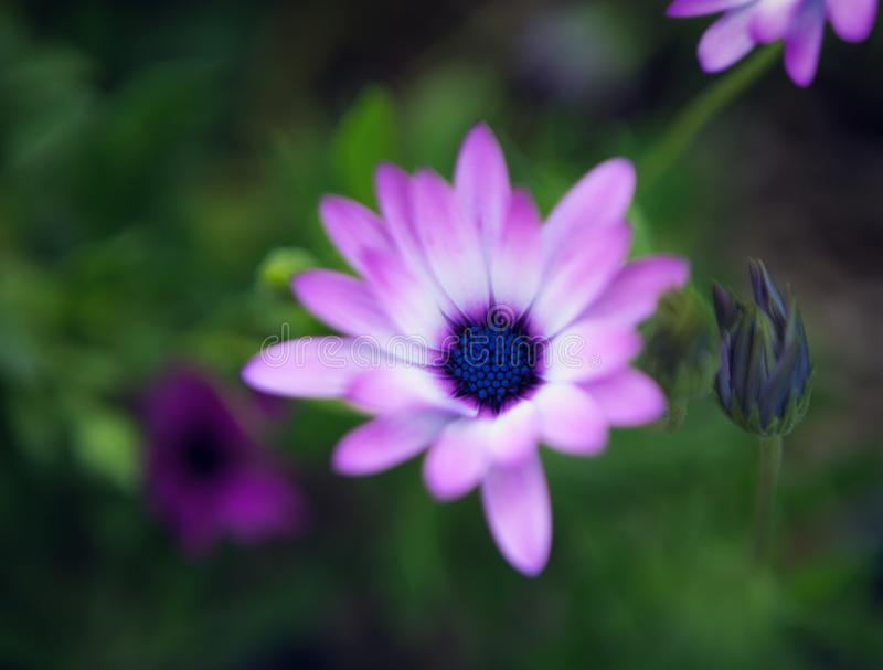Beautiful small light lilac flower Osteospermum on a background of green leaves in nature at early spring. Very shallow dept stock photography