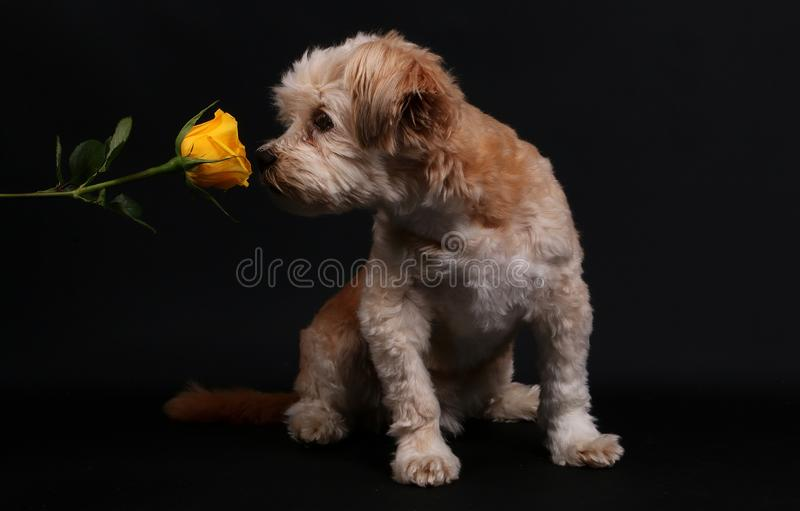 Small mixed dog with a rose royalty free stock images