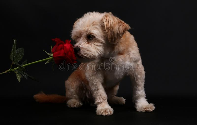 Small mixed dog with a rose stock photo