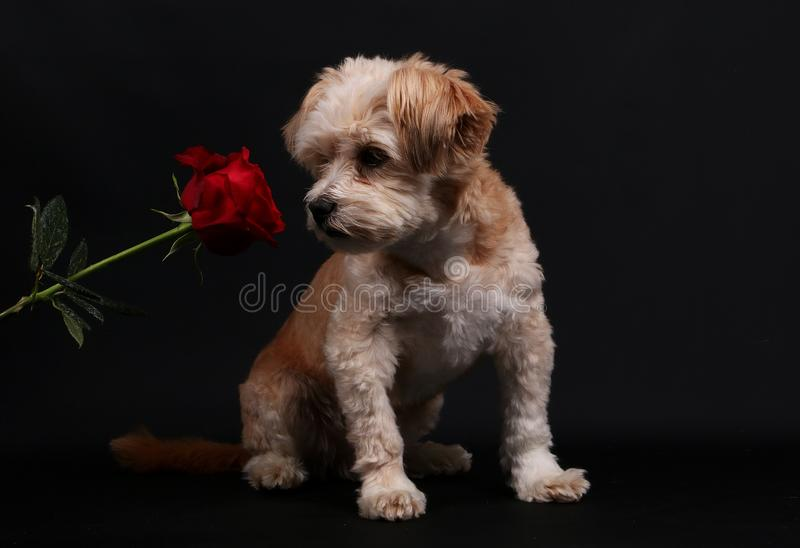 Small mixed dog with a rose stock photography