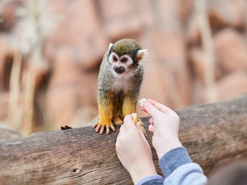 Beautiful small monkey at Loro Park Loro Parque, Tenerife, Canary Islands, Spain.  royalty free stock image