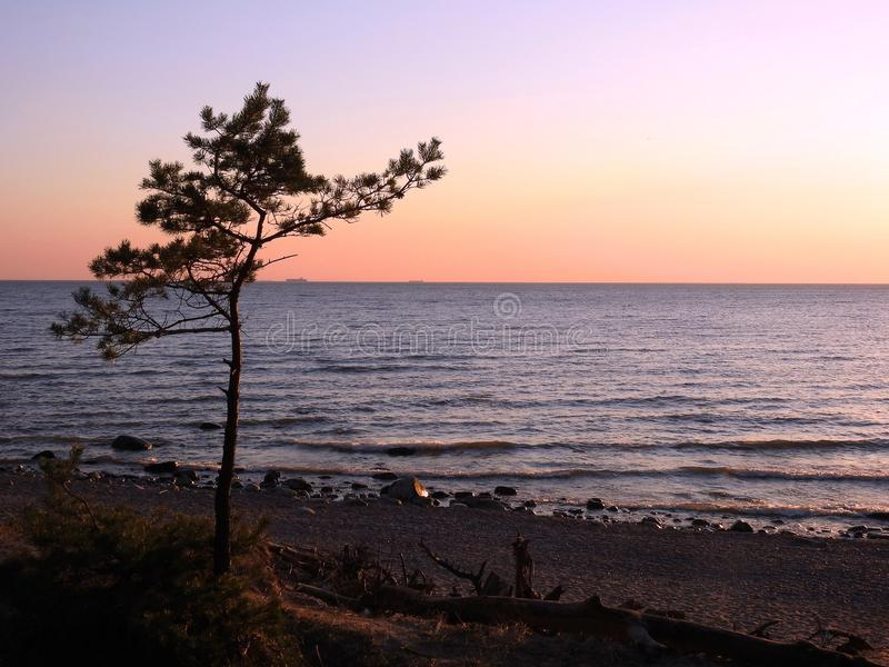 Small pine tree on baltic sea coast, Lithuania. Beautiful small pine tree on Baltic sea coast in evening in sunset colors stock images
