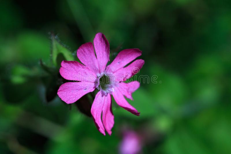 Beautiful small pink flower photographed in macro stock images