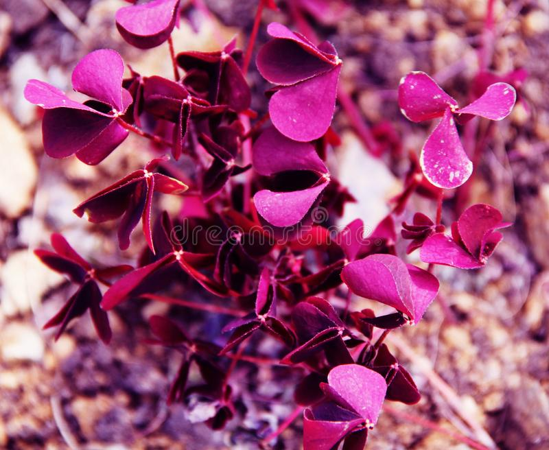Beautiful small pink flowers on the flower bed stock image