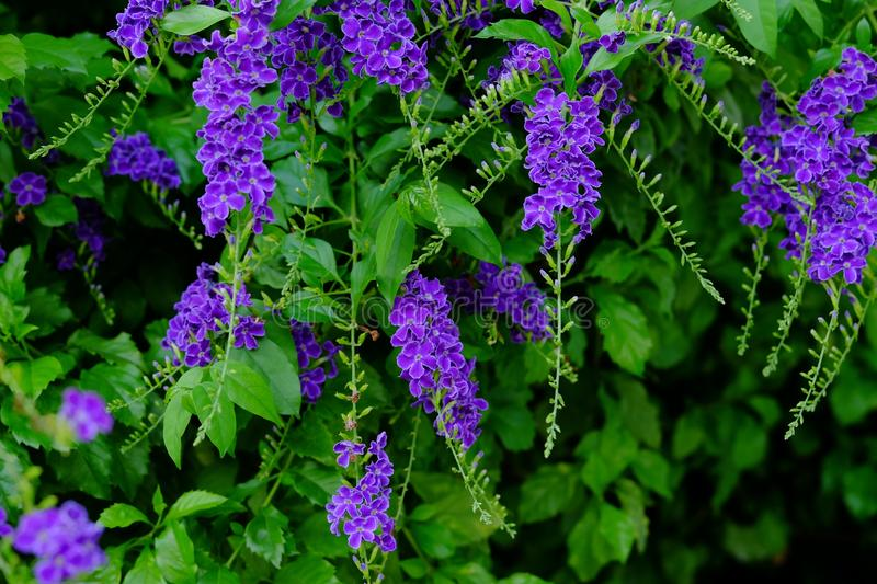 Beautiful small purple flowers Purple flowers with green leafy bouquets stock photography