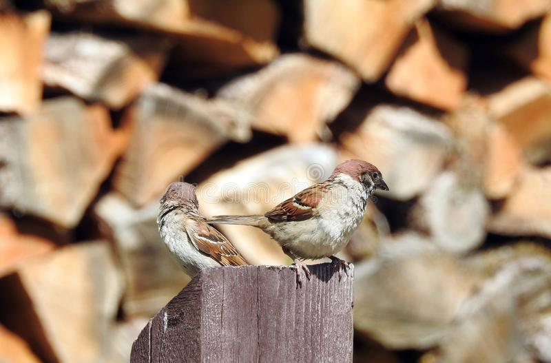 Sparrow bird on wood, Latvia stock photos
