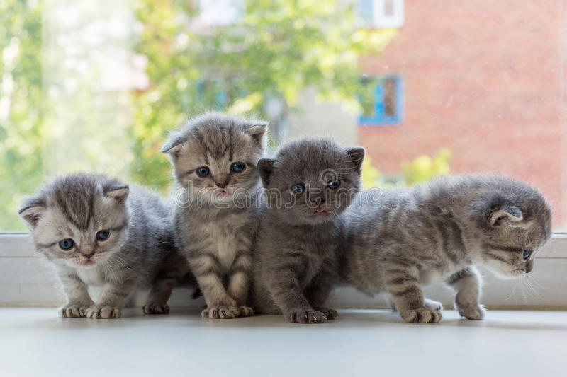 Beautiful small striped kittens on window sill. Scottish Fold breed. stock photos
