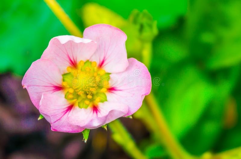 Beautiful small tiny pink rose flower of a strawberry plant macro close up stock photo