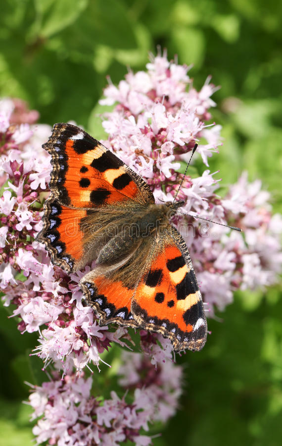 A beautiful Small Tortoiseshell Butterfly Aglais urticae nectaring on a flower with its wings open. A beautiful Small Tortoiseshell Butterfly, Aglais urticae stock image
