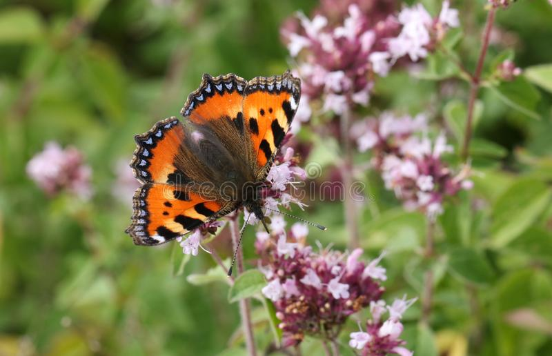 A pretty Small Tortoiseshell Butterfly Aglais urticae nectaring on a Marjoram flower. A beautiful Small Tortoiseshell Butterfly Aglais urticae nectaring on a royalty free stock image