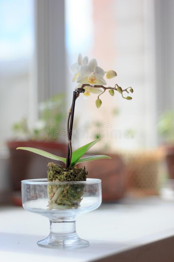 Beautiful small white phalaenopsis orchid on window. royalty free stock photos