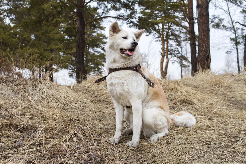 A beautiful smart stately Japanese akita inu dog sits in the forest on dry grass among the coniferous tall old pine trees. stock photos