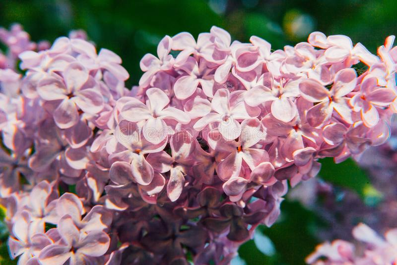 Beautiful smell violet purple twigs of lilac blossom flowers in spring time stock images