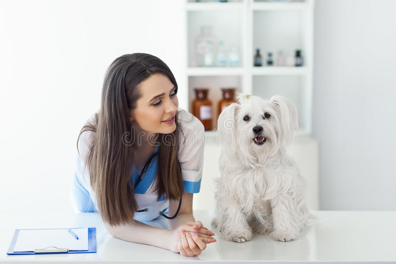 Beautiful smiling veterinarian doctor and cute white dog stock photography