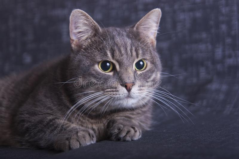 Beautiful smoky cat lying on a dark background and looks carefully stock images