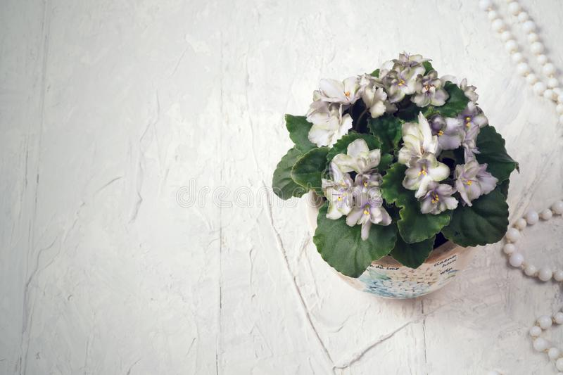 Beautiful smoky grey- purple  african violet flower around white background. provence style. close up.  stock photography