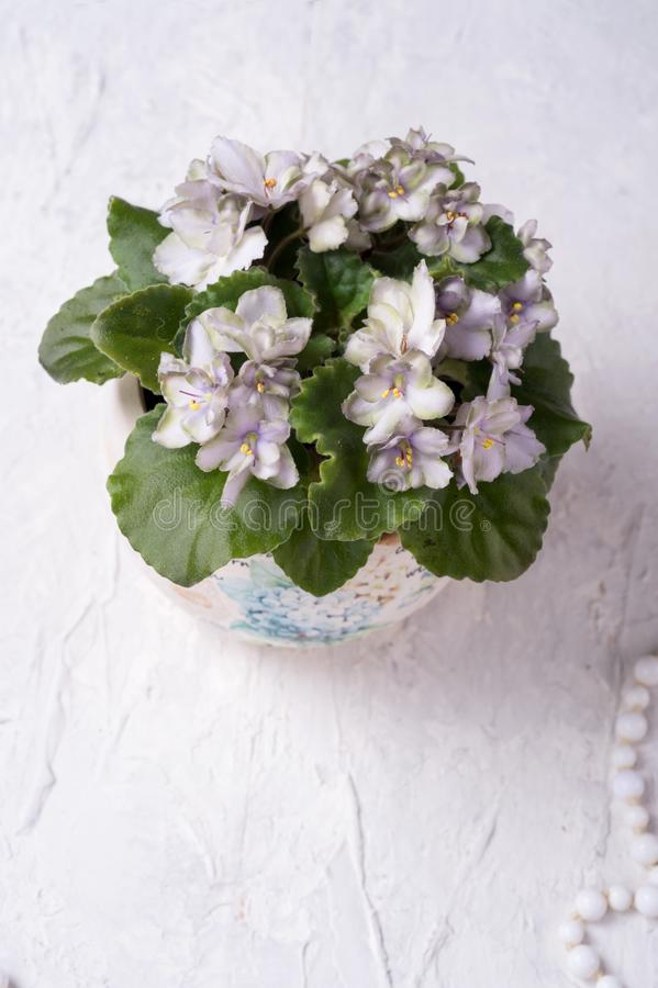 Beautiful smoky grey- purple with green edges african violet flower around white background. provence style. close up stock photo