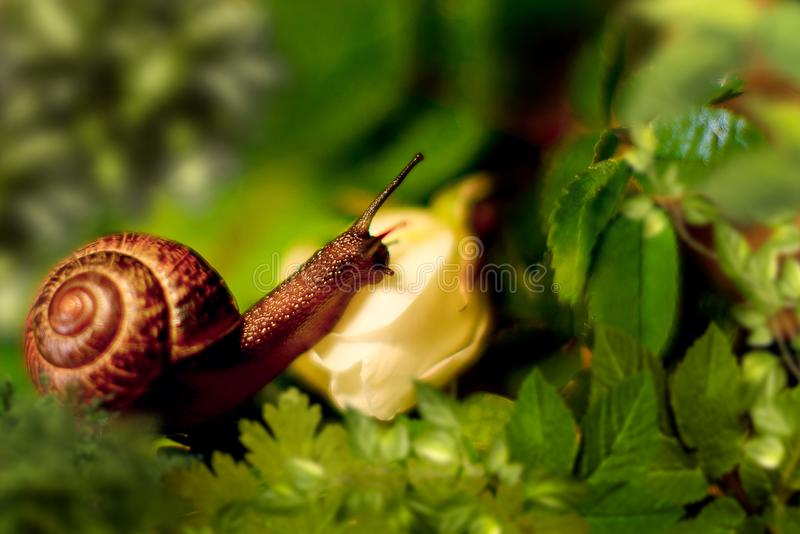 Beautiful snail in green leaves. This is my big world of small snails. The snail is awake and looking for the best leaf for itself royalty free stock image